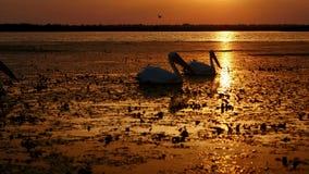 Σκιαγραφίες των μεγάλων άσπρων πελεκάνων στην ανατολή στο δέλτα Δούναβη απόθεμα βίντεο
