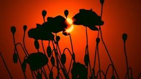 Σκιαγραφίες των παπαρουνών στο ηλιοβασίλεμα φιλμ μικρού μήκους