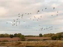 Σκιαγραφίες των χήνων που πετούν επάνω από τη σκηνή χωρών σε ένα σμήνο γραμμών Στοκ φωτογραφία με δικαίωμα ελεύθερης χρήσης