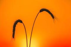 Σκιαγραφίες δύο ώριμα spikelets του σίτου ενάντια Στοκ Εικόνες