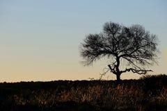 Σκιαγραφημένο δέντρο αγκαθιών Στοκ φωτογραφία με δικαίωμα ελεύθερης χρήσης