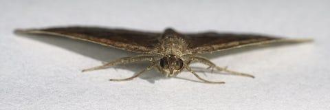 Σκιασμένο chenopodiata Scotopteryx σκώρων ευρύς-φραγμών Στοκ Εικόνες