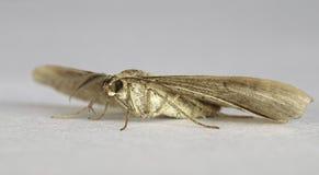 Σκιασμένο chenopodiata Scotopteryx σκώρων ευρύς-φραγμών Στοκ εικόνες με δικαίωμα ελεύθερης χρήσης