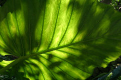 Σκιερό Philadendron Στοκ εικόνα με δικαίωμα ελεύθερης χρήσης