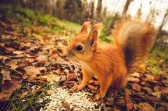Σκιούρων κόκκινο δάσος φθινοπώρου κατοικίδιων ζώων γουνών αστείο στο υπόβαθρο Στοκ εικόνες με δικαίωμα ελεύθερης χρήσης