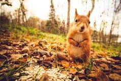 Σκιούρων κόκκινο δάσος φθινοπώρου κατοικίδιων ζώων γουνών αστείο στο υπόβαθρο Στοκ Εικόνα