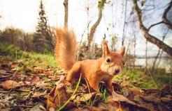 Σκιούρων κόκκινο δάσος φθινοπώρου κατοικίδιων ζώων γουνών αστείο στο υπόβαθρο Στοκ εικόνα με δικαίωμα ελεύθερης χρήσης