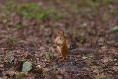 Σκιούρων κόκκινο δάσος φθινοπώρου κατοικίδιων ζώων γουνών αστείο στο άγριο ζώο φύσης υποβάθρου θεματικό Στοκ Φωτογραφίες