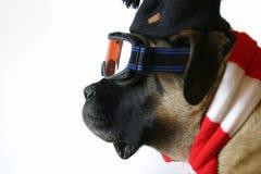 σκι σκυλιών Στοκ φωτογραφία με δικαίωμα ελεύθερης χρήσης