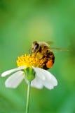 σκληρή εργασία μελισσών Στοκ εικόνα με δικαίωμα ελεύθερης χρήσης