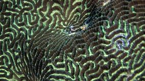 Σκληρός στρογγυλός εγκέφαλος κοραλλιών με μορφή υποβρύχιου καταπληκτικού βυθού σφαιρών στις Μαλδίβες απόθεμα βίντεο