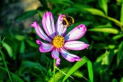 Σκληρό bumblebee εργαζομένων και άγρια λουλούδια Στοκ εικόνες με δικαίωμα ελεύθερης χρήσης