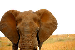 Σκονισμένο κεφάλι του αφρικανικού ελέφαντα Πάρκο Kruger διάσημα βουνά kanonkop της Αφρικής κοντά στο γραφικό αμπελώνα νότιων άνοι Στοκ Εικόνες