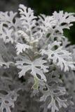 Σκονισμένο φυτό του Μίλερ (cineraria Senecio) Στοκ Εικόνες