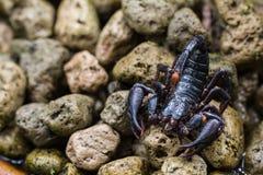 Σκορπιός στη φύση Στοκ φωτογραφίες με δικαίωμα ελεύθερης χρήσης