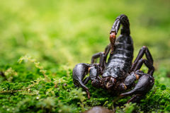 Σκορπιός στη φύση Στοκ Εικόνες