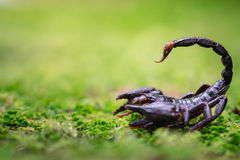 Σκορπιός στη φύση Στοκ εικόνες με δικαίωμα ελεύθερης χρήσης