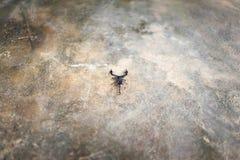 Σκορπιός στο τσιμεντένιο πάτωμα στοκ εικόνα