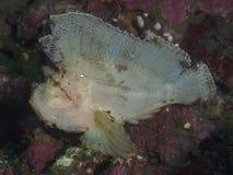Σκορπιός φύλλων ψαριών κοραλλιών Στοκ Φωτογραφία