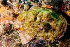 σκορπιός ψαριών που επισ&eta Στοκ Εικόνα