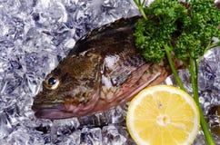 σκορπιός ψαριών Στοκ Εικόνες