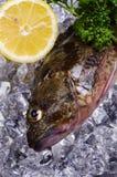 σκορπιός ψαριών Στοκ Φωτογραφίες