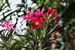 Σκοτεινά ρόδινα λουλούδια στην κοιλάδα στοκ εικόνες