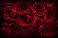 σκοτεινά τριαντάφυλλα στοκ εικόνες