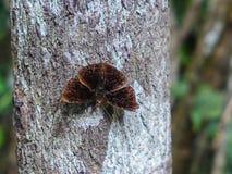 Σκοτεινές καφετιές πεταλούδες Στοκ Εικόνα
