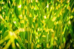 Σκοτεινή έκδοση Κλείστε επάνω τη σύσταση υποβάθρου της ριγωτής χλόης πράσινος κίτρινος χλόης Στοκ Φωτογραφίες