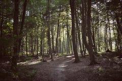 Σκοτεινή δασική πορεία μεταξύ των ψηλών δέντρων Στοκ Φωτογραφίες