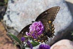 σκοτεινή θηλυκή τίγρη swallowtail π&ep Στοκ Φωτογραφίες
