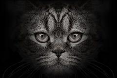Σκοτεινή κινηματογράφηση σε πρώτο πλάνο γατών ρυγχών Μπροστινή όψη Στοκ Φωτογραφίες