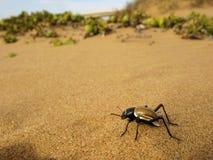 Σκοτεινιασμένος κάνθαρος Tok-tok-tokkie (Onymacris SP ) στην άμμο της ερήμου Namib στη Ναμίμπια, Νότια Αφρική Στοκ Εικόνες