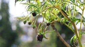 Σκοτεινοί οφθαλμοί λουλουδιών του δέντρου Peony Delavay, που ταλαντεύονται στο μέσο αέρα, 4K φιλμ μικρού μήκους