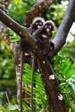 σκοτεινοί πίθηκοι φύλλω&nu Στοκ Εικόνα