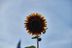 Σκοτεινός κίτρινος διακοσμητικός ηλίανθος Στοκ εικόνα με δικαίωμα ελεύθερης χρήσης