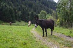 Σκοτεινός καφετής γάιδαρος στο λιβάδι σε Verfenveng, Αυστρία, Ευρώπη, άγριο φυσικό τοπίο στοκ εικόνες με δικαίωμα ελεύθερης χρήσης