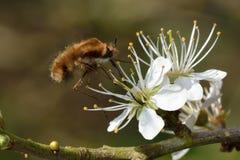 Σκοτεινός-οριοθετημένη μύγα μελισσών (Bombylius σημαντικό) που ταΐζει κατά την πτήση στοκ φωτογραφία με δικαίωμα ελεύθερης χρήσης
