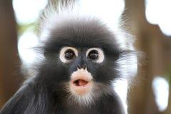 Σκοτεινός πίθηκος φύλλων Στοκ Εικόνα