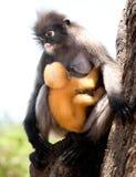 σκοτεινός πίθηκος φύλλω&n στοκ φωτογραφίες με δικαίωμα ελεύθερης χρήσης