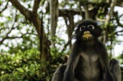 σκοτεινός πίθηκος φύλλω&n Στοκ Εικόνα