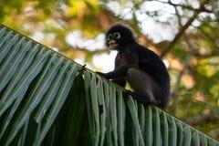 σκοτεινός πίθηκος φύλλω&n Στοκ φωτογραφία με δικαίωμα ελεύθερης χρήσης