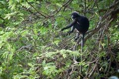σκοτεινός πίθηκος φύλλω&n Στοκ Εικόνες