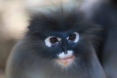 σκοτεινός πίθηκος φύλλω&n Στοκ Φωτογραφία