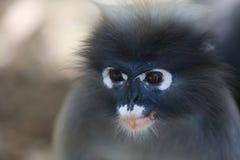 σκοτεινός πίθηκος φύλλω&n Στοκ Φωτογραφίες