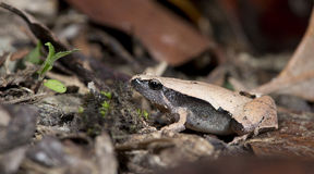Σκοτεινός-πλαισιωμένοι βάτραχος & x28 χορωδιών Microhyla heymonsi& x29 , Όμορφος βάτραχος, βάτραχος στην άμμο Στοκ φωτογραφία με δικαίωμα ελεύθερης χρήσης