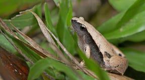 Σκοτεινός-πλαισιωμένος βάτραχος χορωδιών, όμορφος βάτραχος, βάτραχος στο πράσινο φύλλο Στοκ φωτογραφία με δικαίωμα ελεύθερης χρήσης