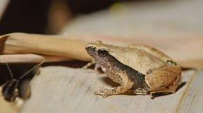 Σκοτεινός-πλαισιωμένος βάτραχος χορωδιών, όμορφος βάτραχος, βάτραχος στο πράσινο φύλλο Στοκ φωτογραφίες με δικαίωμα ελεύθερης χρήσης