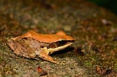 Σκοτεινός-πλαισιωμένος βάτραχος (nigrovittata Rana) στοκ εικόνα